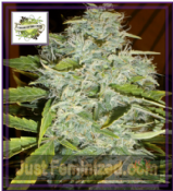 Cream of the Crop Auto Psychofruit Feminised Cannabis Seeds